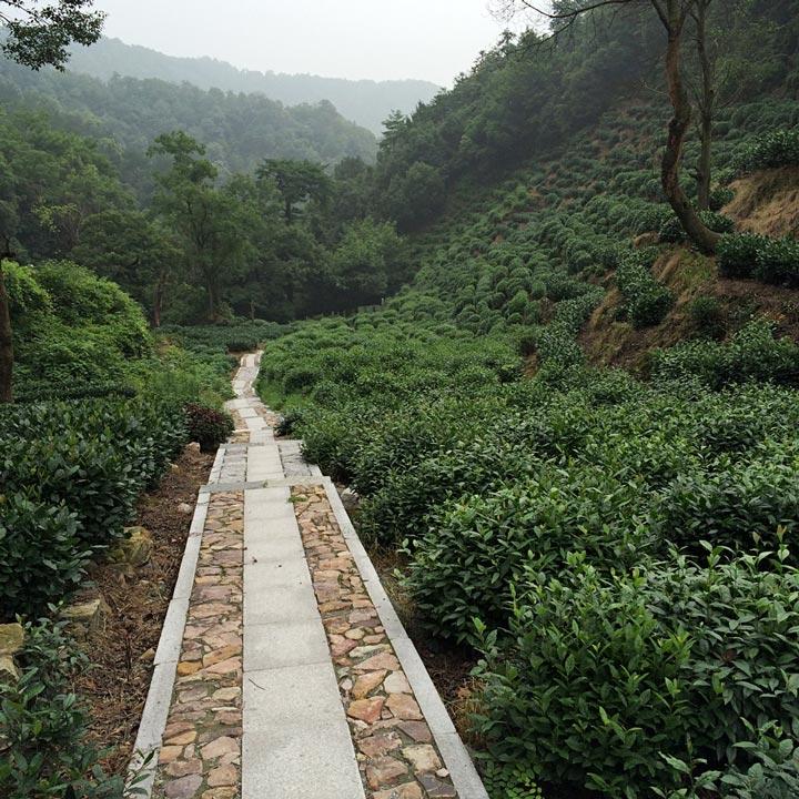 tea-garden-path